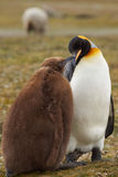 King Penguin with Hungry Chick - Falkland Islands Royalty Free Stock Photography