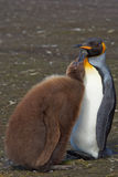 King Penguin and Hungry Chick - Falkland Islands Stock Image