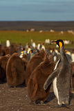 King Penguin and Hungry Chick - Falkland Islands Stock Photo