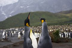 King Penguin, Koningspinguïn, Aptenodytes patagonicus. King Penguin pair standing in the colony; Koningspinguïn paar staand in de kolonie stock photos