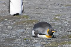 King penguin laying down in sunshine, Antarctica Royalty Free Stock Photo