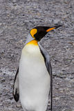 King Penguin looking right on South Georgia beach Royalty Free Stock Image