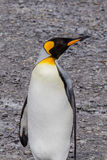 King Penguin looking right on South Georgia Royalty Free Stock Photos