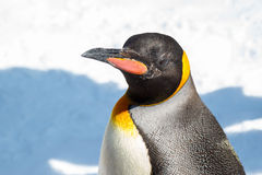 King Penguin looking at you Stock Photo