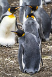 King Penguin - Love Is In The Air Stock Photo