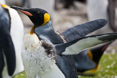 King penguin male after moult. Flaps wings Royalty Free Stock Image