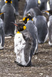 King Penguin Moulting Royalty Free Stock Photos