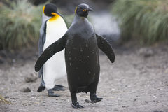 King penguin and mud Stock Photo