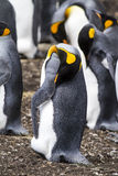 King Penguin - Nasty smell ? Royalty Free Stock Image