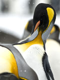 King penguin preening in the snow Royalty Free Stock Images