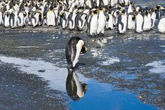 King penguin reflected in the water, Antarctica Stock Images