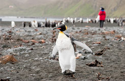 King Penguin with Researcher in background Royalty Free Stock Image
