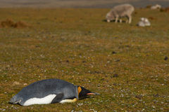 King Penguin Rests on a Sheep Farm - Falkland Islands. King Penguin (Aptenodytes patagonicus) lying on the grass amongst sheep on a farm at Volunteer Point in Royalty Free Stock Photo