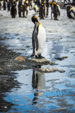 King penguin in rookery reflected in pool Stock Photos