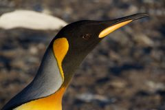 King penguin at Saint Andrew`s Bay in South Georgia Royalty Free Stock Photography
