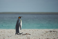 King Penguin on a Sandy Beach Stock Photos
