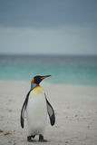 King Penguin on a Sandy Beach Stock Photography