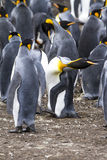 King Penguin - In Shape! Royalty Free Stock Photos
