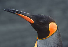 King Penguin, South Georgia. A Closeup view of a king penguin on South Georgia, a British Island in the south Atlantic ocean Royalty Free Stock Images