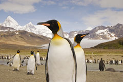King Penguin on South Georgia. Two curious king penguins on South Georgia island stock photos