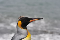 King penguin in South Georgia. King Penguin close up in South Georgia stock images