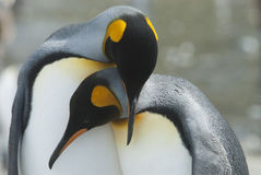 King penguin in South Georgia Stock Images