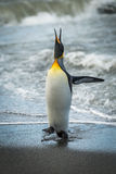 King penguin squawking on beach at waterline Stock Image