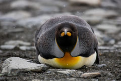King penguin staring Royalty Free Stock Images