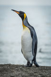 King penguin stretching neck on sandy beach Royalty Free Stock Images