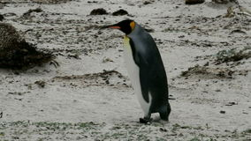 King Penguin is strolling around stock video footage