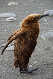 King Penguin Teen Before Shedding Baby Feathers in South Georgia Stock Image