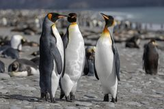 King penguin. Three King penguins socializing on a beach. Photo taken on January, 2019, Antarctic Peninsula stock image