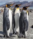 King penguin. Three King penguins socializing on a beach. stock photos