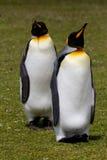 King Penguin Stock Photos