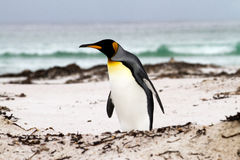 King Penguin walking on the beach Stock Photography