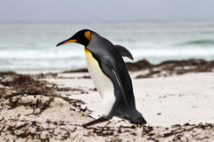 King Penguin walking on the beach Royalty Free Stock Photos