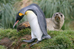 King Penguin walks past Antarctic fur seal Stock Photography