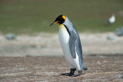 King penguin walks thinking. Stock Image