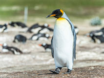 King penguin walks thinking. Royalty Free Stock Image