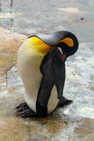 King penguin was cleaning Royalty Free Stock Image