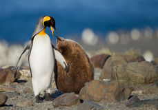 King penguin with young one. King penguin feeding its chick on the beach of Georgia Island Royalty Free Stock Photos
