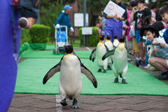 King penguin in zoo Stock Photography