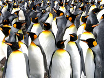 King penguins. Colony at Macquarie Subantarctic Island Stock Photos
