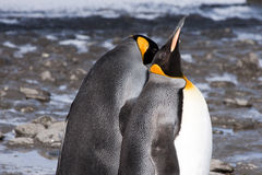 King penguins. In the sun of South Georgia Royalty Free Stock Photography