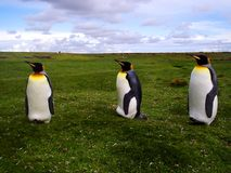 King Penguins. Beautiful king penguins in a vast grassland stock photo