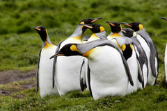King Penguins. Group of king penguins appearing confused with dark green grasses as background Salisbury Plain South Georgia Island Royalty Free Stock Image