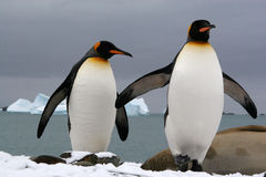 King penguins. (Fortuna Bay, South Georgia - Sub antarctic island stock photo