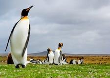 King Penguins Stock Photos