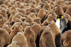 King penguins. Chicks in the custody of an adult Royalty Free Stock Images