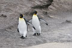 King penguins. Two king penguins walking on Saunders Island, Falkland Islands stock image